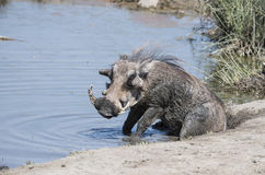 Wild Common Warthog (Phacochoerus africanu) at a Water Hole Royalty Free Stock Images