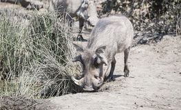 Wild Common Warthog (Phacochoerus africanu) at a Water Hole Stock Photos