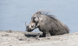 Wild Common Warthog (Phacochoerus africanu) at a Water Hole Stock Photo