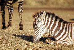 Wild common zebra baby grazing Royalty Free Stock Photos