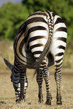 Wild common zebra feeding Royalty Free Stock Photo