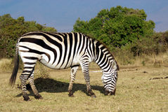 Wild common zebra grazing Stock Photography