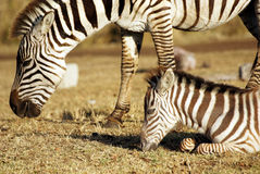 Wild common zebra grazing Royalty Free Stock Images