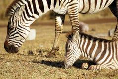 Wild common zebra grazing Royalty Free Stock Images