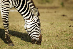 Wild common zebra grazing portrait Royalty Free Stock Images