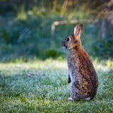 4Wild coniglio comune (cuniculus di oryctolagus) che si siede su posteriore in un prato su una mattina gelida Immagine Stock