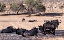Wild (Connochaetes-taurinus) Blauw Wildebeest-GNU Stock Afbeelding