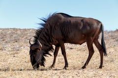 Wild (Connochaetes taurinus) Blue Wildebeest Gnu grazing Stock Image