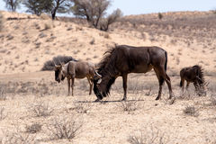 Wild (Connochaetes taurinus) Blue Wildebeest Gnu grazing Royalty Free Stock Photography