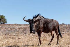 Wild (Connochaetes taurinus) Blue Wildebeest Gnu Stock Photography
