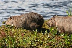 Wild Copybaras. Copybaras in Brazil Royalty Free Stock Image