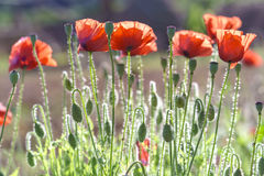 Wild Coquelicot flowers bloom. In the beautiful afternoon sunshine royalty free stock images