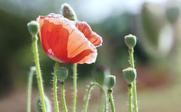 Wild Coquelicot flowers bloom. In the beautiful afternoon sunshine royalty free stock image