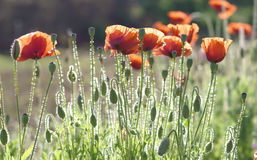 Wild Coquelicot flowers bloom. In the beautiful afternoon sunshine stock photos
