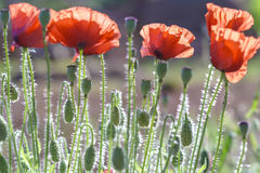 Wild Coquelicot flowers bloom. In the beautiful afternoon sunshine stock image