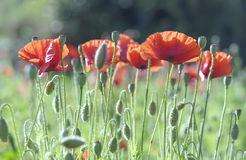 Wild Coquelicot flowers bloom. In the beautiful afternoon sunshine royalty free stock photo