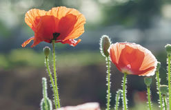 Wild Coquelicot flowers bloom. In the beautiful afternoon sunshine royalty free stock photography