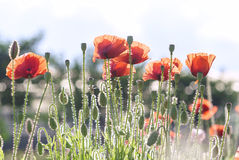 Wild Coquelicot flowers bloom. In the beautiful afternoon sunshine stock photography