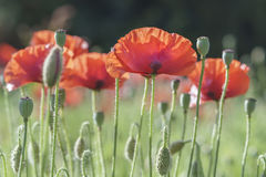 Wild Coquelicot flowers bloom. In the beautiful afternoon sunshine stock photo