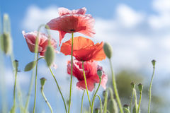Wild Coquelicot flowers bloom. In the sunny sky shimmering as the glorious beauty of the fleeting wings stock photography