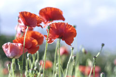 Wild Coquelicot flowers bloom. In the sunny sky shimmering as the glorious beauty of the fleeting wings stock images