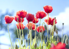 Wild Coquelicot flowers bloom. In the sunny sky shimmering as the glorious beauty of the fleeting wings royalty free stock photos