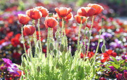 Wild Coquelicot flowers bloom. In the sunny sky shimmering as the glorious beauty of the fleeting wings royalty free stock images