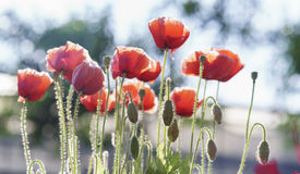 Wild Coquelicot flowers bloom. In the sunny sky shimmering as the glorious beauty of the fleeting wings stock photo