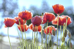 Wild Coquelicot flowers bloom. In the sunny sky shimmering as the glorious beauty of the fleeting wings stock image