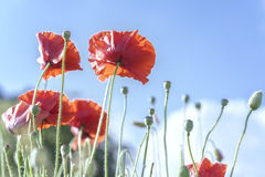 Wild Coquelicot flowers bloom. In the sunny sky shimmering as the glorious beauty of the fleeting wings royalty free stock photo