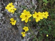Wild Coreopsis Cuzco Peru. Wild yellow Coreopsis growing in a stone wall near Cuzco Peru Stock Images