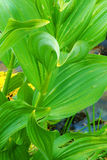 Wild Corn Lily Fronds Stock Image