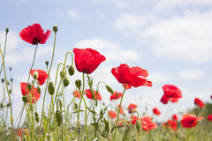 Wild corn poppy in a field in summer Stock Photo