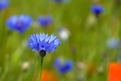 Wild cornflower Royalty Free Stock Images