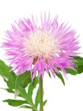 Wild cornflower Stock Photo