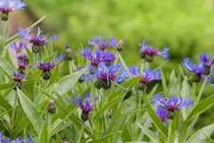 Wild cornflowers in the green meadow Royalty Free Stock Images