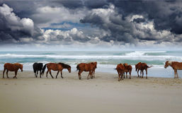 Wild Corolla horses. Corolla wild horses on the beach in North Carolina under dark clouds royalty free stock photography