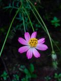 Wild Cosmos flower it& x27;s blooming beautifully royalty free stock photo