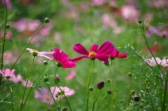 Wild cosmos flowers Stock Photography