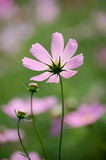 Wild cosmos flowers Stock Photos