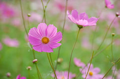 Wild cosmos flowers Royalty Free Stock Image