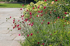 Wild cottage garden plants. Photo of a pretty pink wild cottage garden plants in full summer bloom Stock Images