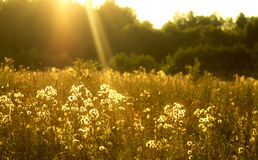 Wild Cotton grass. Cotton grass in late sunny evening Stock Photo