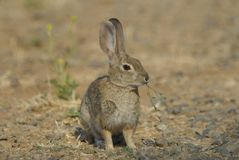 Wild cotton tail rabbit. Sits eating grass Stock Images