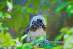 Wild cotton-top tamarin Royalty Free Stock Image