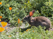 Wild Cottontail  Brush Rabbit in spring grass Stock Photos
