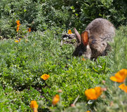 Wild Cottontail  Brush Rabbit in spring grass Stock Photo