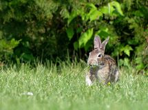 Wild Cottontail Rabbit Eating Grass royalty free stock images