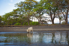 Wild cow. A wild cow crossing the river in Costa Rica Royalty Free Stock Photo