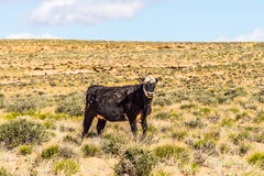Wild cow canyonlands farm pasture in utah and arizona Stock Images